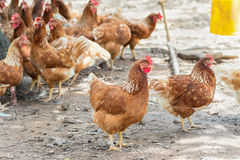 Happy hens in cage free Royalty Free Stock Photos