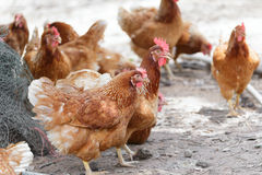 Happy hens in cage free Stock Photography