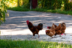 Happy hens and rooster Royalty Free Stock Photo