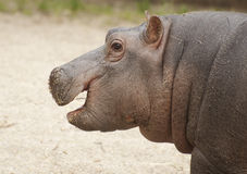 Happy hippo. The hippopotamus or hippo is a large mammmal Stock Photography