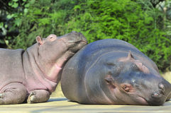 Happy hippopotamus Stock Images