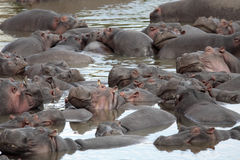 Happy Hippopotamus Stock Image