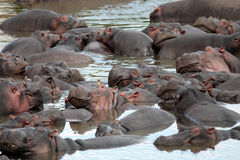 Happy Hippopotamus Royalty Free Stock Photo