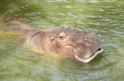 Happy hippopotamuses swiming stock photography