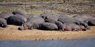 Happy Hippos stock image