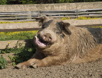 Happy Hog in a Pen Royalty Free Stock Photography