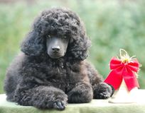 Christmas Decoration  Poodle Puppy Happy New Year Royalty Free Stock Images