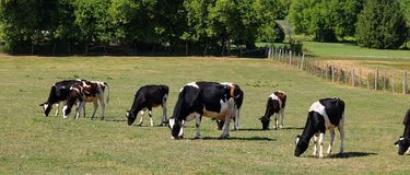 Happy Holsteins in the meadow on a beautiful morning