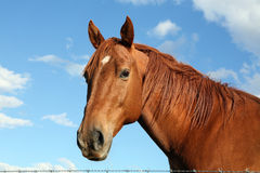 Happy Horse. Old chestnut mare peering over a barbed wire fence __ focus on eyes and mane Stock Photo