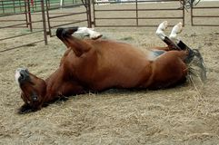Happy Horse. Bay horse rolling in paddock Stock Photo
