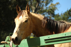 Happy Horse Royalty Free Stock Images