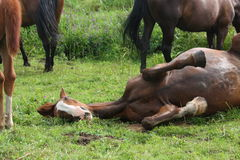 Happy horse rolling in the grass Stock Photos