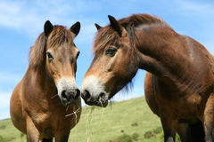 Happy Horses. Two chestnut ponies eating hay together. Focus on near pony Royalty Free Stock Photography