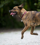 A happy hound running along gravel Stock Photography