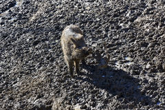 The Happy hour of baby wild boar on the mud floor. Royalty Free Stock Images