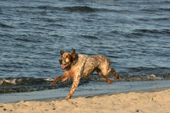 Happy hunting dog on beach. Happy hunting dog running on beach after a swim Stock Photos