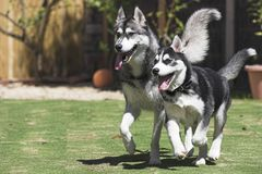 Happy Huskies. Two extremely Happy Huskies running together stock images