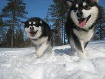 Happy Huskies. Purebred Alaskan Malamute puppies Royalty Free Stock Images