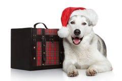 Happy husky dog in red Santa hat Stock Photography