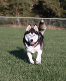Happy Husky Dog Running Royalty Free Stock Photo