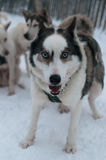 Happy husky dog in the snow Royalty Free Stock Image
