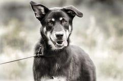 Happy Husky mix breed dog, pet rescue adoption photography stock photos