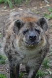 Happy hyena Stock Photography