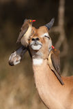 Happy impala. A young impala ram with two red-billed oxpeckers on its head, seaching for ticks Royalty Free Stock Images