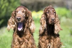 Happy Irish Setter dogs laughing. Happy funny smiling Irish Setter dogs laughing in the camera royalty free stock photography