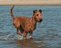 Irish Terrier playing on the beach. Happy Irish Terrier playing on the beach in Sweden royalty free stock photos