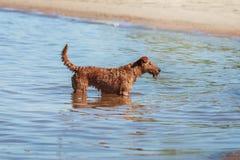 Happy Irish Terrier swimming in the sea. The Irish Terrier swimming in the sea Royalty Free Stock Photos