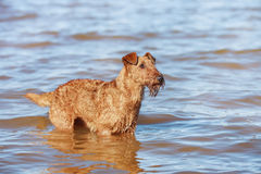 Happy Irish Terrier swimming in the sea. The Irish Terrier swimming in the sea Royalty Free Stock Images