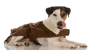 Happy jack Russel terrier Royalty Free Stock Image