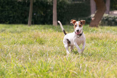 Happy jack russell dog at a park. Royalty Free Stock Photography