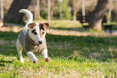 Happy Jack Russell dog playing and running at a park. Royalty Free Stock Photography