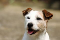 Happy Jack Russell. Dog smiling royalty free stock photography