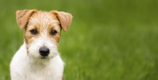 Happy jack russell pet dog banner stock images