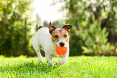 Happy Jack Russell Terrier pet dog playing with toy at back yard lawn. Jack Russell Terrier fetches toy ball stock photography