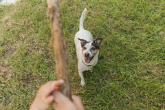Happy Jack Russell terrier playing with a stick Royalty Free Stock Photo