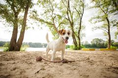 Happy Jack Russell Terrier puppy playing with a rope on the beach. Happy young Jack Russell Terrier puppy playing with a rope on the sand beach on summer day royalty free stock photos