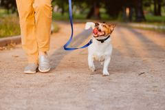 Happy dog walking on leash with woman at evening park during sunset. Happy Jack Russell Terrier walking on leash kindly royalty free stock photography