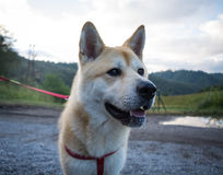 Happy Japanese Akita Stock Images