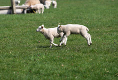 Happy jump. Cute lamb jumping through the meadow at springtime stock photo