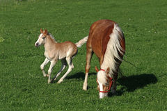 Happy jumping Haflinger foal with his mother Royalty Free Stock Photos