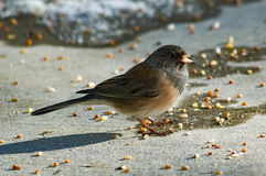 Happy Junco Final Royalty Free Stock Image