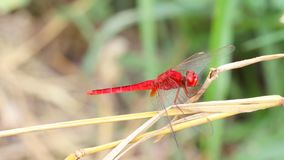 Red dragonfly on hay. stock photography
