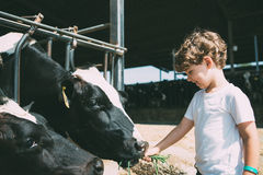 Happy kid feeding cows stock photo