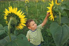 Happy kid playing in sunflower field royalty free stock photo