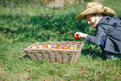 Happy kid putting apple in wicker basket with harvest Royalty Free Stock Photography