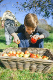 Happy kid putting apples in wicker basket with Royalty Free Stock Photos